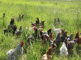 ovos de galinha do campo